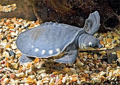 Новое животное на нашей экспозиции: Двухкоготная или свиноносая черепаха Carettochelys insculpta