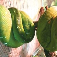 Зелёный питон, или древесный питон Morelia viridis
