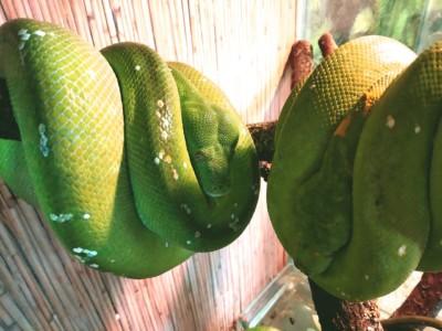 У нашего зеленого питона теперь есть вторая половинка),чего и всем желаем!